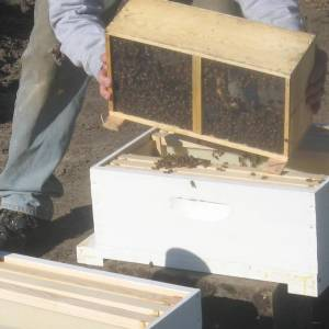 Transferring the bees into the hive.
