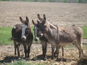 The donkeys watched with curiosity at the happenings.