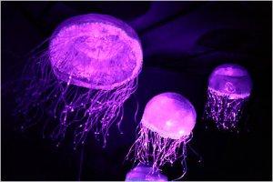 jellyfish ny times